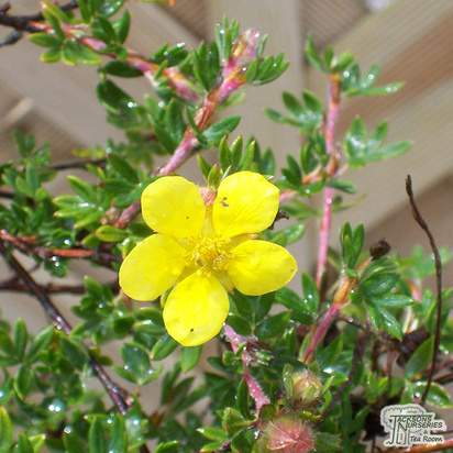 Buy Potentilla fruticosa Elizabeth (Cinquefoil) online from Jacksons Nurseries