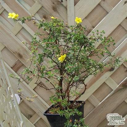 Buy Potentilla fruticosa Elizabeth (Cinquefoil) online from Jacksons Nurseries