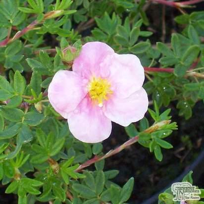 Buy Potentilla fruticosa Princess (Cinquefoil) online from Jacksons Nurseries