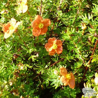 Buy Potentilla fruticosa Red Ace (Cinquefoil) online from Jacksons Nurseries