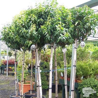 Buy Prunus lusitanica (Portuguese Laurel) online from Jacksons Nurseries