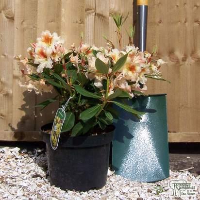 Buy Rhododendron Bernstein (Hybrid Rhododendron) online from Jacksons Nurseries
