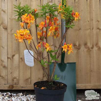 Buy Rhododendron Golden Eagle (Deciduous Hybrid Azalea) online from Jacksons Nurseries
