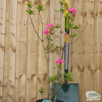 Buy Rhododendron Homebush (Deciduous Hybrid Azalea) online from Jacksons Nurseries