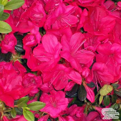 Buy Azalea japonica Mother's day (Evergreen Dwarf Japanese Azalea) online from Jacksons Nurseries