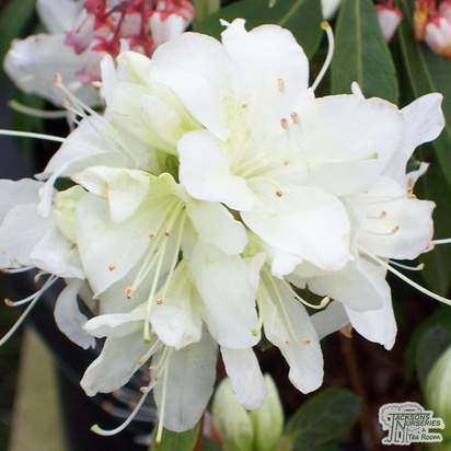 Buy Azalea japonica Palestrina (Evergreen Dwarf Japanese Azalea) online from Jacksons Nurseries