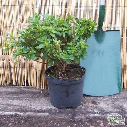Buy Rhododendron Palestrina (Evergreen Dwarf Japanese Azalea) online from Jacksons Nurseries