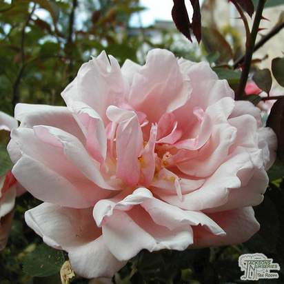 Buy Rosa Albertine (Rambling Rose) online from Jacksons Nurseries