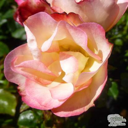 Buy Rosa Birthday Girl (Floribunda Rose) online from Jacksons Nurseries