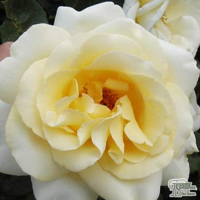 Buy Rosa Elina (Hybrid Tea Rose) online from Jacksons Nurseries
