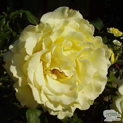 Buy Rosa Golden Showers online from Jacksons Nurseries