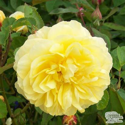 Buy Rosa Graham Thomas online from Jacksons Nurseries