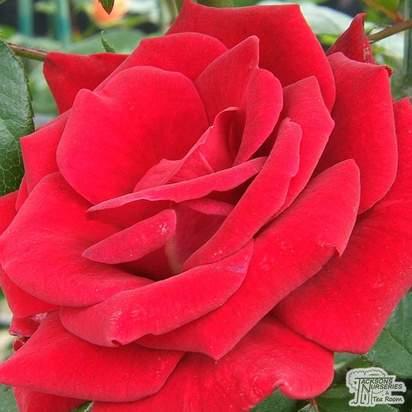 Buy Rosa Mister Lincoln online from Jacksons Nurseries