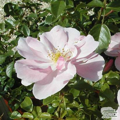 Buy Rosa Queen Mother (Patio Rose) online from Jacksons Nurseries