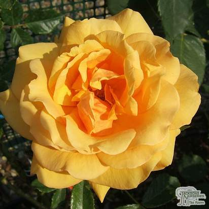 Buy Rosa Simply the Best online from Jacksons Nurseries