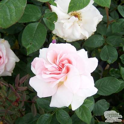 Buy Rosa A Whiter Shade of Pale (Hybrid Tea) online from Jacksons Nurseries