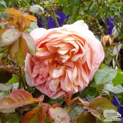 Buy Rosa Abraham Darby (English Shrub Rose) online from Jacksons Nurseries