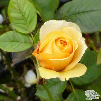 Buy Rosa Absolutely Fabulous online from Jacksons Nurseries