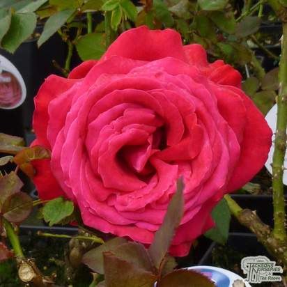 Buy Rosa Alec's Red (Hybrid Tea Rose) online from Jacksons Nurseries