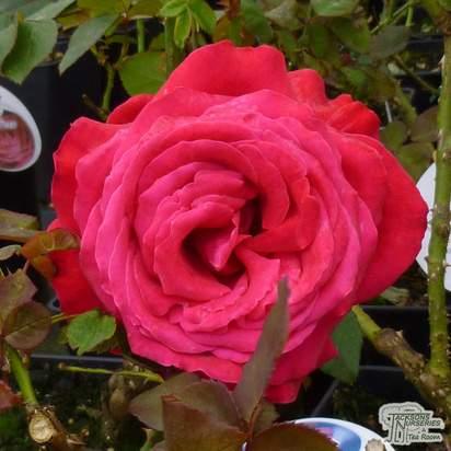 Buy Rosa Alec's Red (Hybrid Tea Rose) online from Jacksons Nurseries