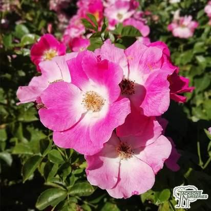Buy Rosa American Pillar (Rambling Rose) in the UK