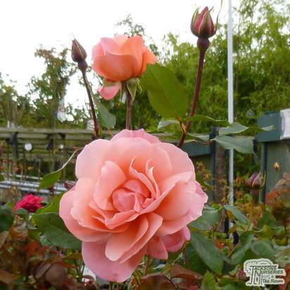 Buy Rosa Blessings (Hybrid Tea Rose) online from Jacksons Nurseries