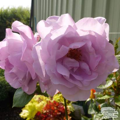 Buy Rosa Blue Moon online from Jacksons Nurseries
