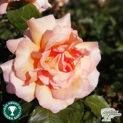 Buy Rosa Compassion online from Jacksons Nurseries