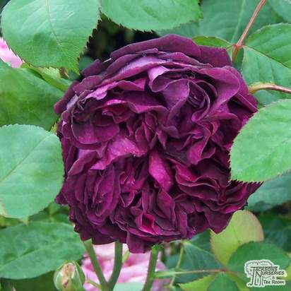 Buy Rosa Falstaff online from Jacksons Nurseries