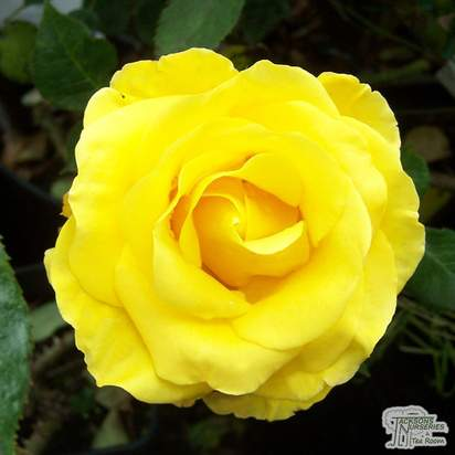 Buy Rosa Freedom (Hybrid Tea Rose) online from Jacksons Nurseries