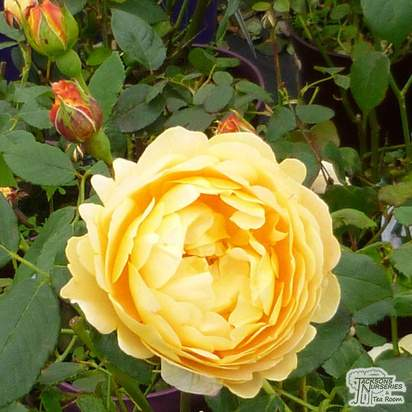 Buy Rosa Golden Celebration online from Jacksons Nurseries.