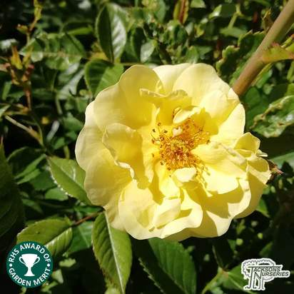 Buy Rosa Golden Memories (Floribunda Rose) online from Jacksons Nurseries