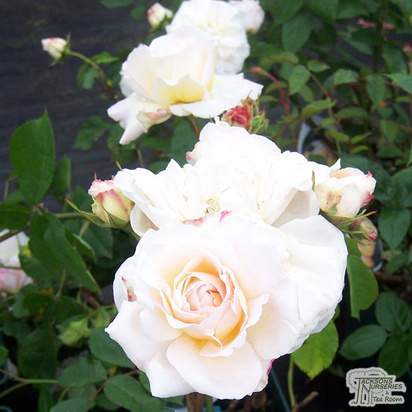 Buy Rosa Gruss An Aachen (English Rose) online from Jacksons Nurseries
