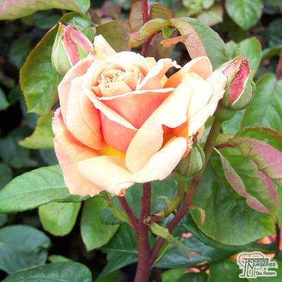 Buy Rosa Indian Summer (Hybrid Tea) online from Jacksons Nurseries