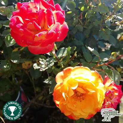Buy Rosa Irish Eyes (Floribunda Rose) online from Jacksons Nurseries