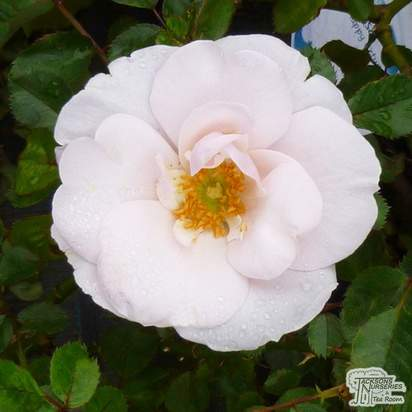 Buy Rosa Many Happy Returns (Celebration Floribunda Rose) online from Jacksons Nurseries