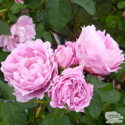 Buy Rosa Mary Rose (David Austin English Rose) online from Jacksons Nurseries