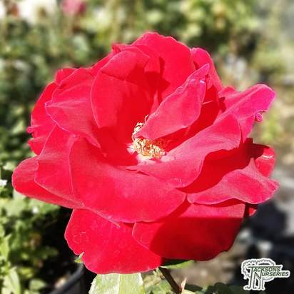 Buy Rosa Precious Platinum (Hybrid Tea Rose) online from Jacksons Nurseries