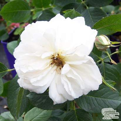 Buy Rosa Princess of Wales (Celebration Floribunda Rose) online from Jacksons Nurseries
