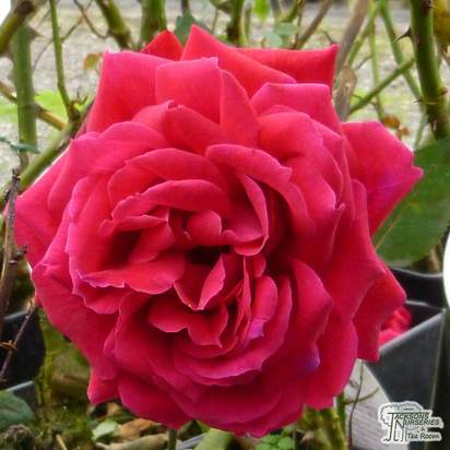 Buy Rosa Ruby Wedding online from Jacksons Nurseries