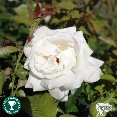 Buy Rosa Silver Anniversary (Celebration Hybrid Tea Rose) online from Jacksons Nurseries