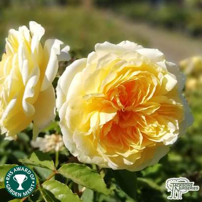 Buy Rosa The Pilgrim (David Austin English Rose) online from Jacksons Nurseries