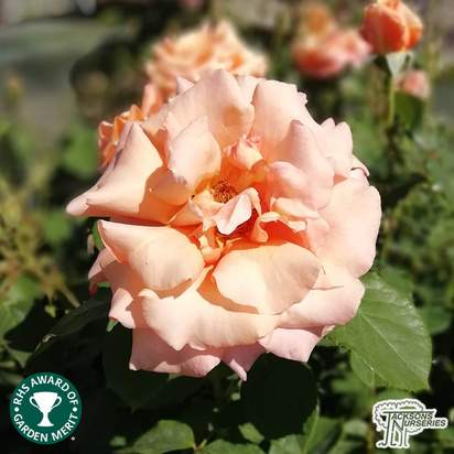 Buy Rosa Warm Wishes (Celebration Hybrid Tea Rose) online from Jacksons Nurseries
