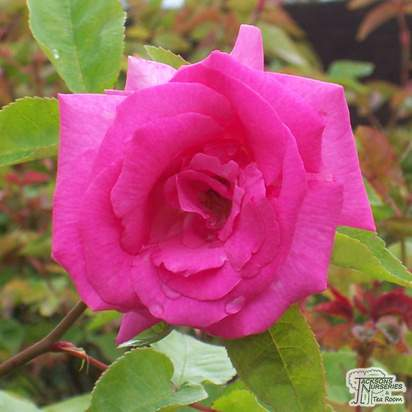 Buy Rosa Zephirine Drouhin online from Jacksons Nurseries