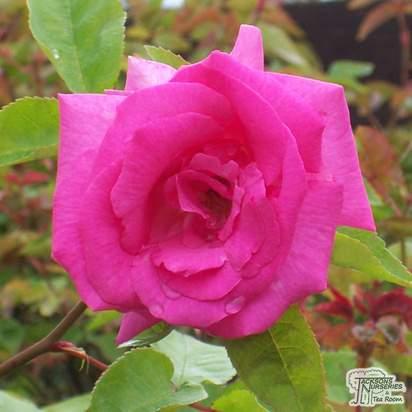 Buy Rosa Zephirine Drouhin online from Jacksons Nurseries
