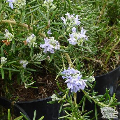 Buy Rosmarinus officinalis Prostratus Group (Rosemary) online from Jacksons Nurseries