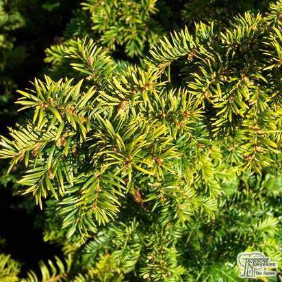 Buy Taxus baccata Fastigiata Aurea online from Jacksons Nurseries