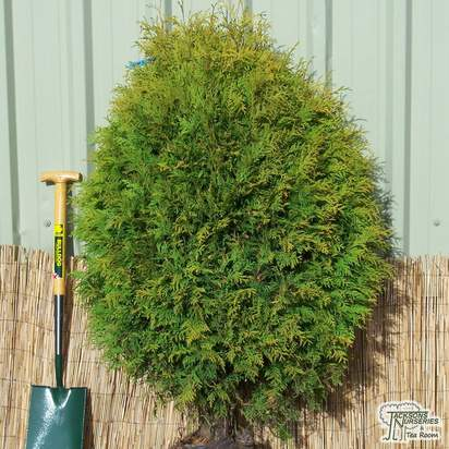Buy Thuja occidentalis Golden Globe online from Jacksons Nurseries