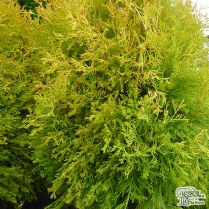 Buy Thuja occidentalis Rheingold online from Jacksons Nurseries