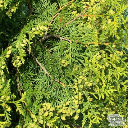 Buy Thuja occidentalis Sunkist online from Jacksons Nurseries
